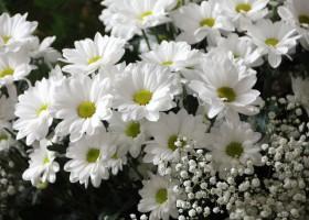 abundant daisies